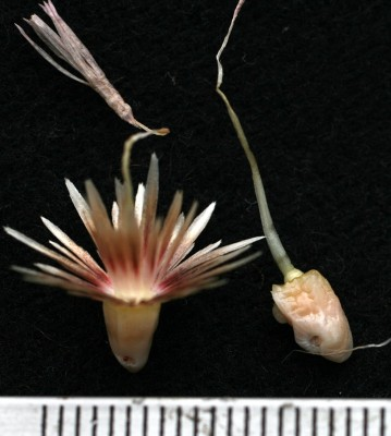 קורטם דק Carthamus tenuis (Boiss. & Blanche) Bornm.