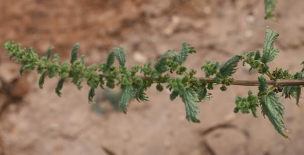 סרפד צורב Urtica urens L.