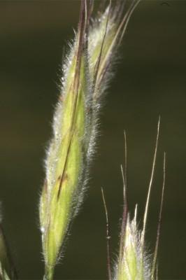 ברומית יפנית Bromus japonicus Thunb.