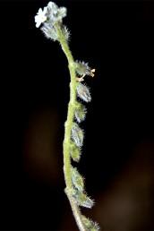 עוקצי הפרחים הפורים כפופים כלפי מטה, קצרים בהרבה מהגביע; בדרך כלל צמודים אל הגבעול.