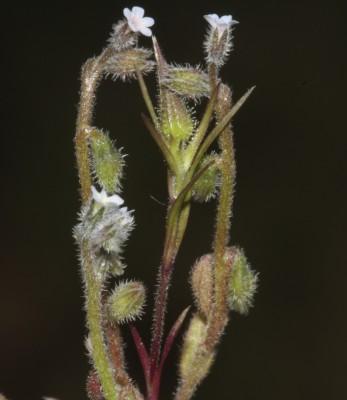 זכריני מופשל Myosotis refracta Boiss.