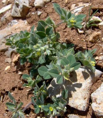 Trigonella brachycarpa (M.Bieb.) Moris