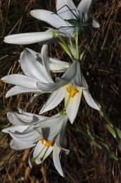 צמחים רב-שנתיים בעלי בצל העשוי גלדים צרים. התפרחת אשכול הנישא בראש גבעול מכוסה עלים.