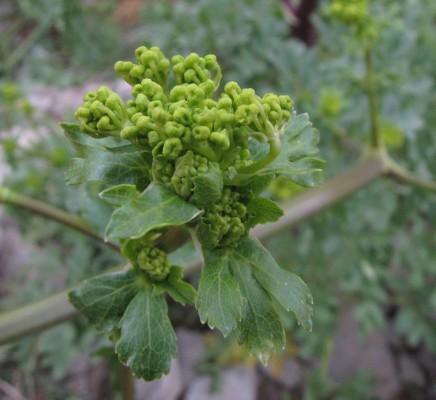 נדד סורי Smyrniopsis syriaca Boiss.