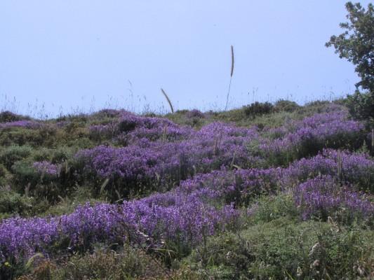 בקיה דקת-עלים Vicia tenuifolia Roth