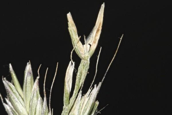 זון רב-פרחים Lolium multiflorum Lam.