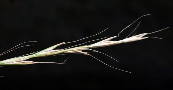 זון פרסי Lolium persicum Boiss. & Hohen. ex Boiss.