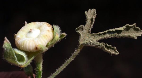 חטמית מאוצבעת Alcea digitata (Boiss.) Alef.