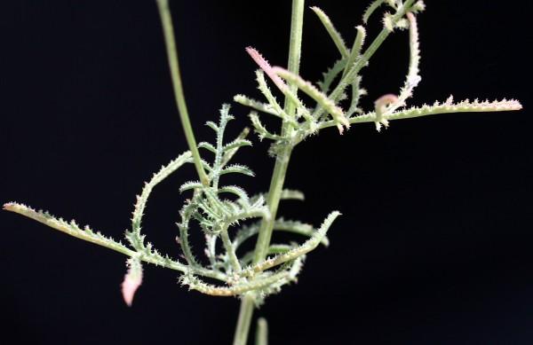דרדית בינונית Crupina intermedia (Mutel) Walp.