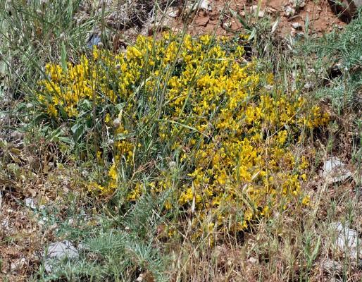 רתמת הלבנון Genista libanotica Boiss.