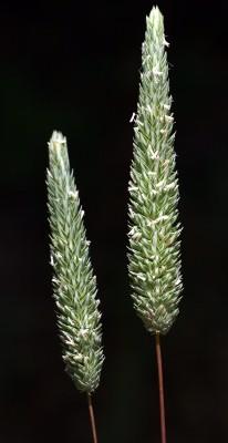 איטן מרצעני Phleum subulatum (Savi) Asch. & Graebn.
