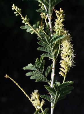 ינבוט השדה Prosopis farcta (Banks & Sol.) J.F.Macbr.