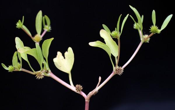 נורית חיקית Ranunculus lateriflorus DC.