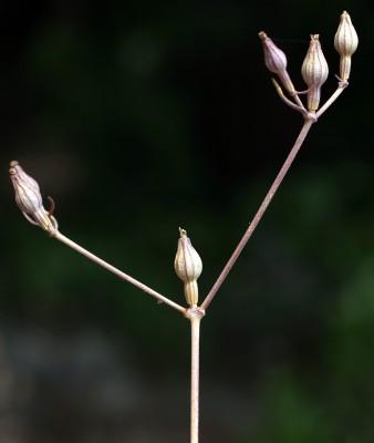 ציפורנית עבת-עוקץ Silene crassipes Fenzl