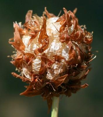 תלתן משולחף Trifolium physodes Steven ex M.Bieb.