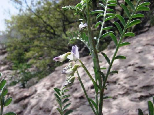 Vicia ervilia (L.) Willd.
