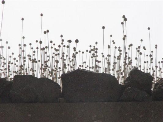 שום נטוי Allium phanerantherum Boiss. & Hausskn.