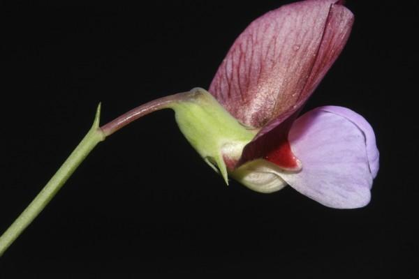 Lathyrus clymenum L.