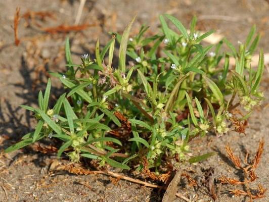 אולדנית הכף Oldenlandia capensis L.f.
