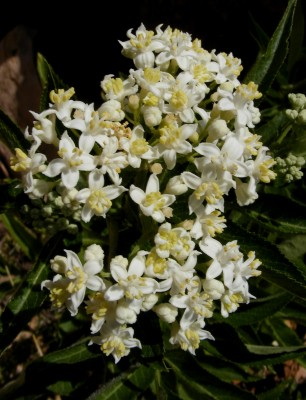 סמבוק אמיתי Sambucus ebulus L.