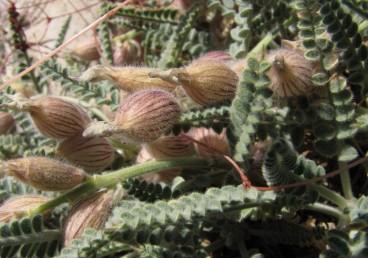 הגביע הפורה נפוח. צמחים הגדלים בחרמון.