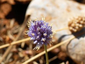 צבע עלי-העטיף כחול או כחול-סגול. צמחי החרמון ברום 2,800-1,900 מ'.