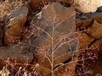 גבעול התפרחת מתפתח ללא עלים בסוף הקיץ - תחילת החורף.