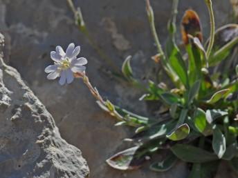 העלים המלווים את הפרחים קטנים וצרים מהעלים שבשושנת.