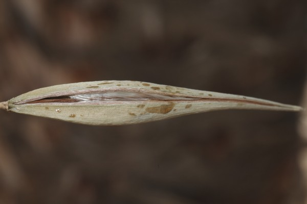 מחומש לולייני Pentatropis nivalis (J.F.Gmel.) Field & Wood