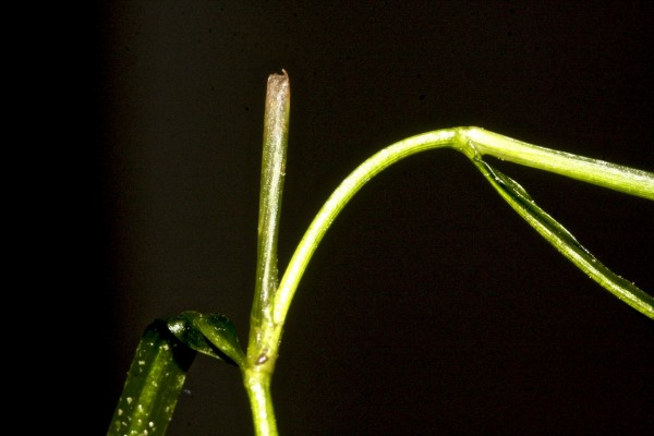 נהרונית מסרקנית Potamogeton pectinatus L.