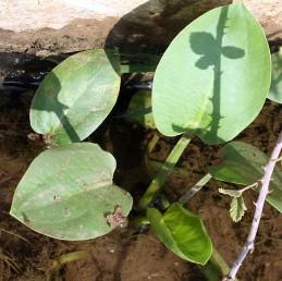 העלים הבולטים מעל המים דמויי ביצה, מעוגלים או דמויי לב בבסיסם.