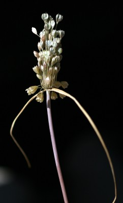 שום ירקרק Allium paniculatum L.