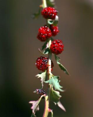 Chenopodium foliosum (Moench) Asch.