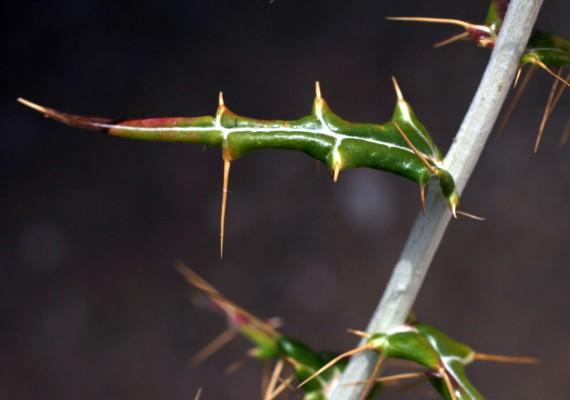 Ptilostemon diacantha (Labill.) Greuter