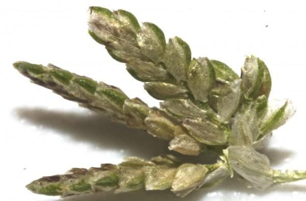 גומא דו-אנפין Cyperus difformis L.