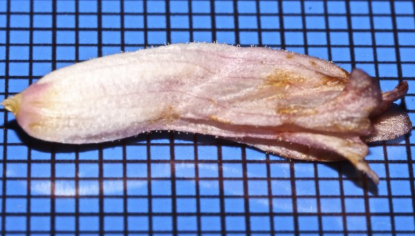 עלקת כפופת-חפים Orobanche camptolepis Boiss. & Reut.