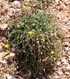 צמחים נמוכים של החרמון, בעלי גזע מעוצה וקנה-שורש מכוסה קשקשים.