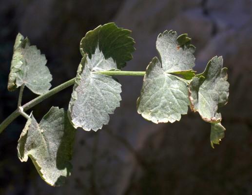 הרקליאון נמוך Heracleum humile Sm.