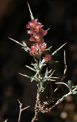 Noaea mucronata (Forssk.) Asch. & Schweinf.