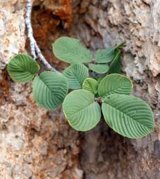 שיחים לא קוצניים  הגדלים בפסגות החרמון. עורקי העלים שקועים.