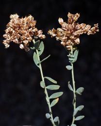 צמחי חרמון. הפרי בעל 20-11 זרעים דמויי ביצה שחורים.