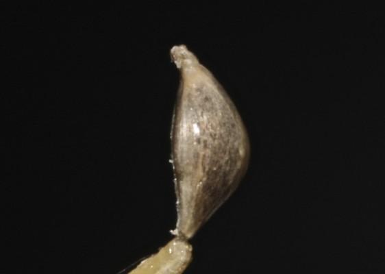 דחנית התרנגולים Echinochloa crusgalli (L.) P.Beauv.