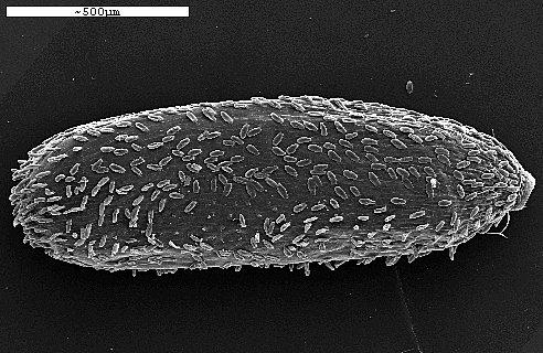 פילגון אנטולי Filago anatolica (Boiss. & Heldr.) Chrtek & Holub