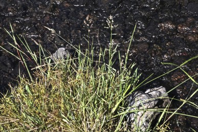 צמחי מים רב-שנתיים. התפרחת מכבד בו השיבוליות יושבות על סעיפים דקים של ציר התפרחת.
