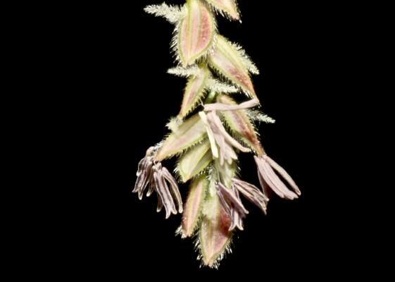 בת-אורז משושה Leersia hexandra Sw.