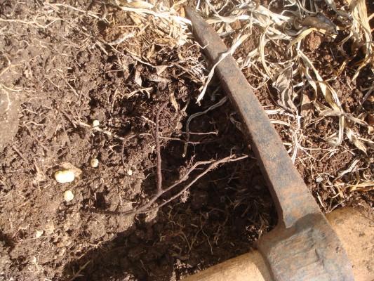 ניסנית הבולבוסין Aetheorhiza bulbosa (L.) Cass.