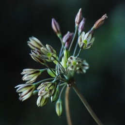 צמחי הכרמל, פורחים בספטמבר-אוקטובר. צבע הכותרת לבנבן-ירקרק.