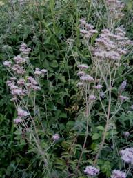 עשבים רב-שנתיים מעוצים בבסיסם, בעלי עלים נגדיים משוננים בשפתם. גדלים בביצות וגדות נחלים.