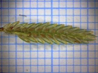 גומא כדורי Cyperus flavidus Retz.