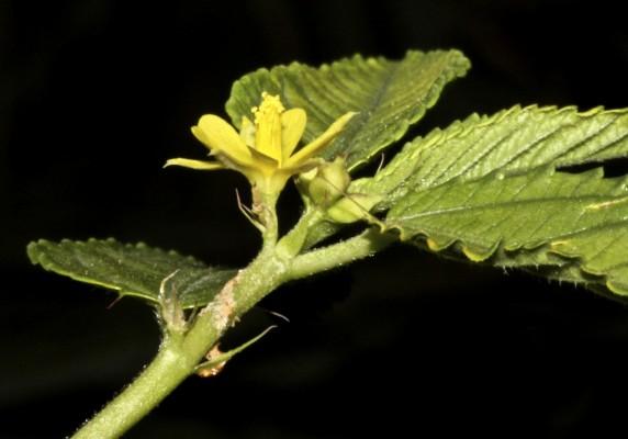 מלוכיה משולשת Corchorus trilocularis L.
